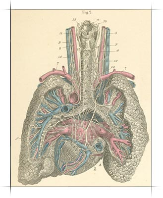 The heart and lungs seen from behind, along with the airway, blood vessels and nerves